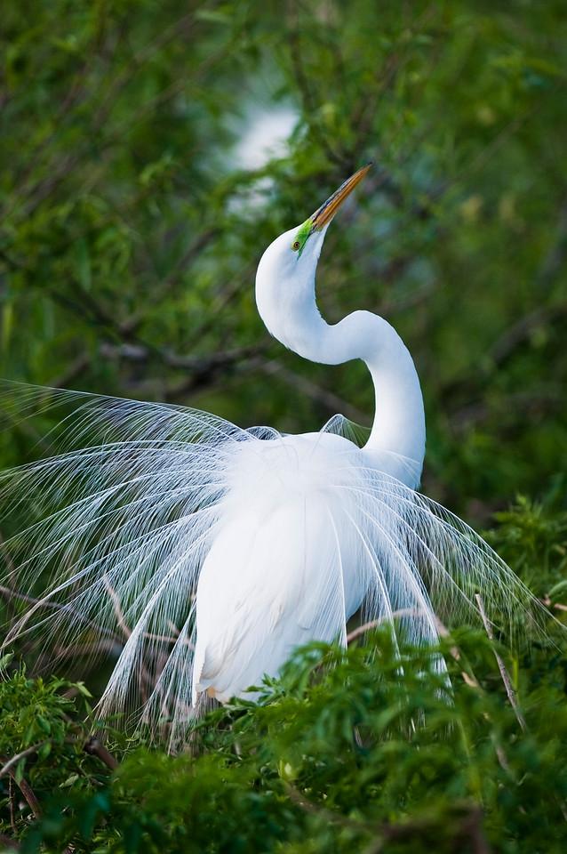 Great White Egret in mating display Gatorland Rookery Orlando, Florida © 2011