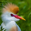 Cattle Egret 051108_8459