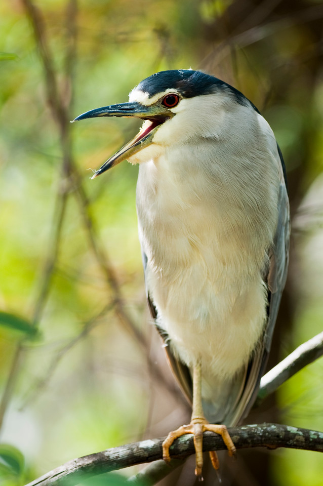 Black-Crowned Night Heron Gatorland Rookery Orlando, Florida © 2011