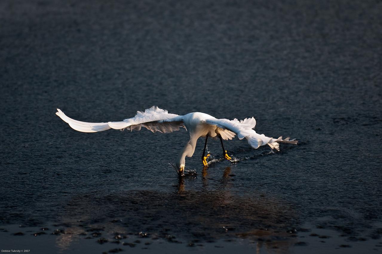 Snowy Egret Fishing Wakodahatchee Wetlands Delray Beach, Florida © 2009