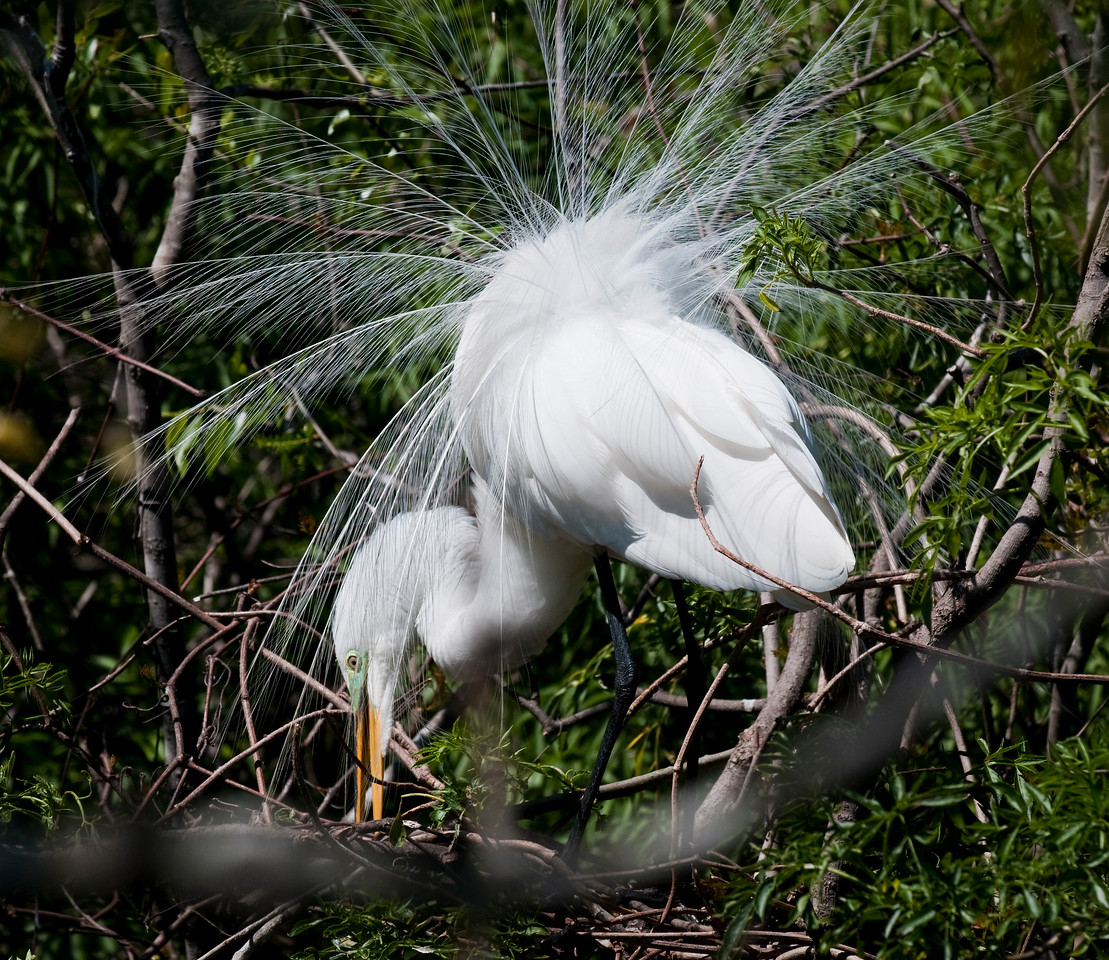 Great Egret in Mating Display Gatorland Orlando, Florida © 2010