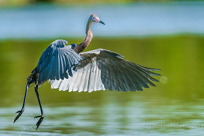 On the Go Reddish Egret Eco Pond, Everglades National Park Florida © 2014