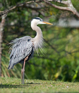 Great Blue Heron All Fluffed Up Wakodahatchee Wetlands Delray Beach, Florida © 2012