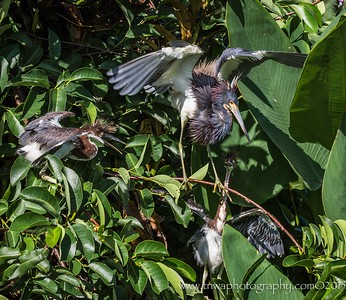 Mom's Home! Tri-colored Heron Family Wakodahatchee Wetlands, Delray Beach, FL © 2015