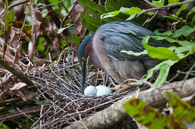 Green Heron tending to it's eggs Wakodahatchee Wetlands Delray Beach, Florida © 2010