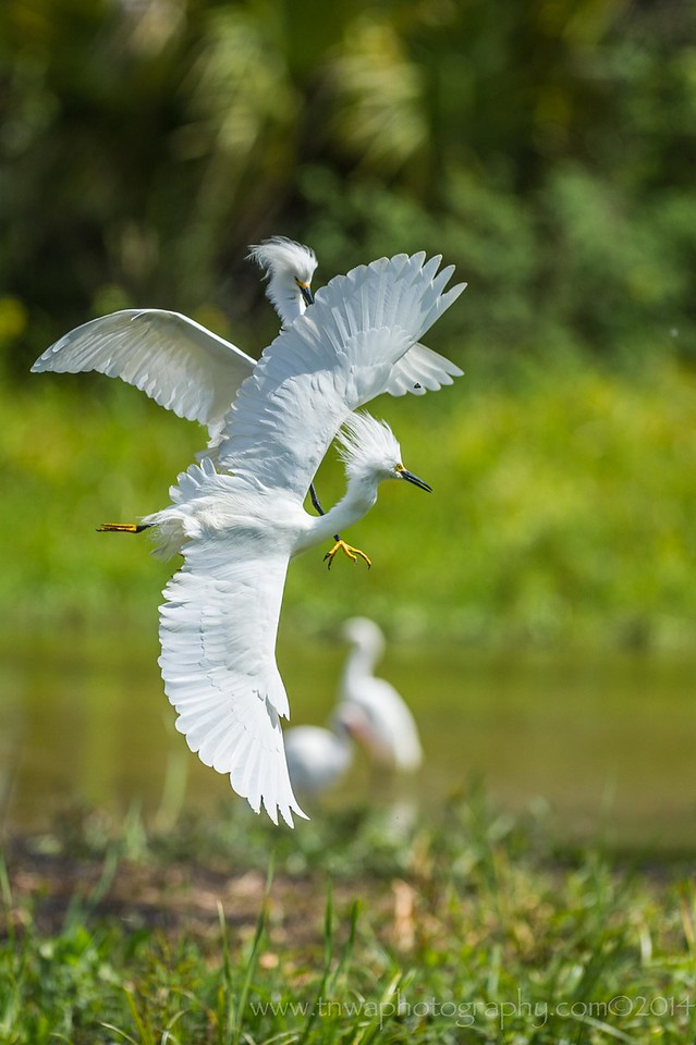 The Chase is On Snowy egrets inflight Orlando Wetlands, Orlando, Florida © 2014