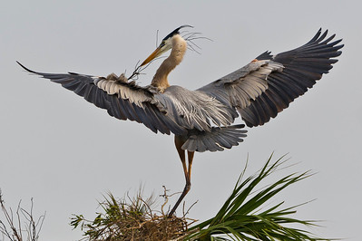 Great Blue Heron Eager To Please Viera Wetlands Viera, Florida © 2013