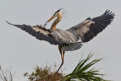 Great Blue Heron Eager To Please Viera Wetlands Viera, Florida © 2013