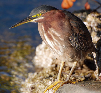 Green Heron Ding Darling Sanibel Island, Florida © 2009