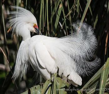 The Instigator Snowy egret in full breeding plumage and behavior Alligator Farm, St. Augustine, FL © 2015