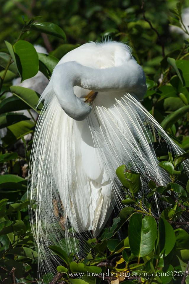 Great White Egret Preening Wakodahatchee Wetlands Delray Beach, FL © 2015