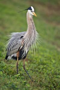 Great Blue Heron Gets All Excited Viera Wetlands Viera, FL © 2013