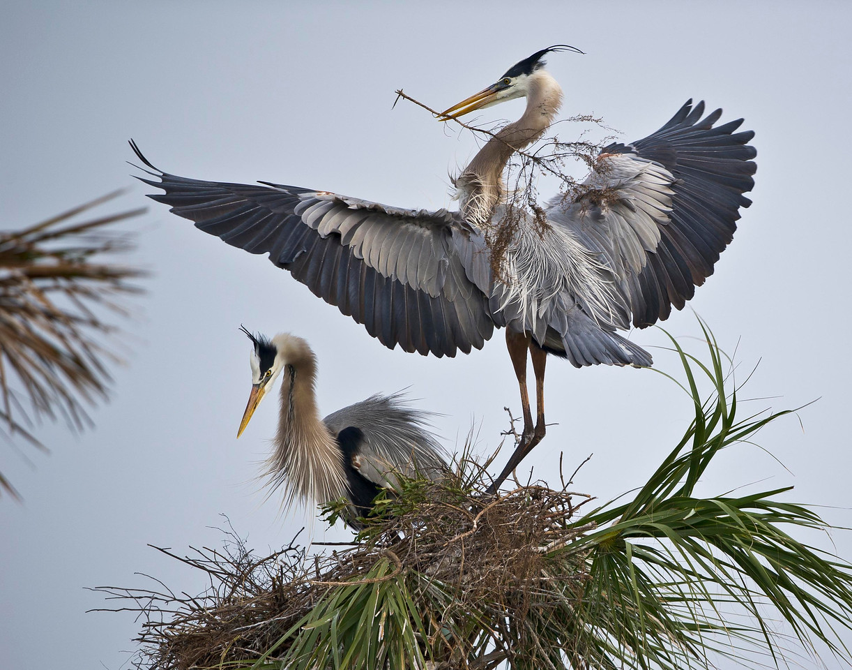 Togetherness - Behaviors of the Great Blue Heron Pair Vera Wetlands Viera, Florida © 2013