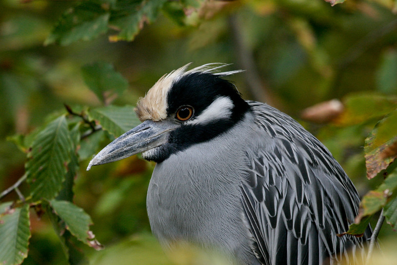 Yellow Crowned Night Heron 110706_4679