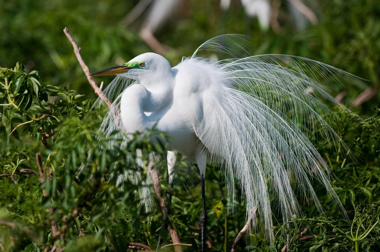 Great Egret in breeding colors Gatorland Rookery Orlando, Florida © 2011