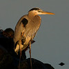 Great Blue Heron 123006_7917