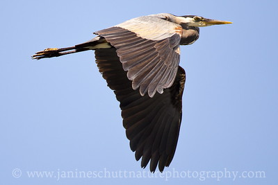 Great Blue Heron flying over Seabeck Bay in  Seabeck, Washington.