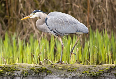 Great Blue Heron.  Photo taken while kayaking on Kitsap Lake in Bremerton, Washington.