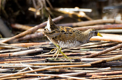 Sora near Ephrata, Washington.