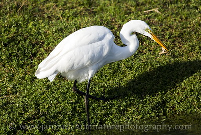 Great Egret catching a frog for a snack.  Photo taken at the River 'S' Unit of the Ridgefield National Wildlife Refuge near Ridgefield, Washington.