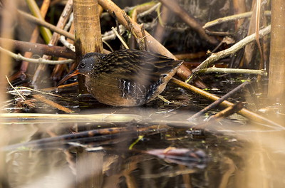 Virginia Rail near Ephrata, Washington.