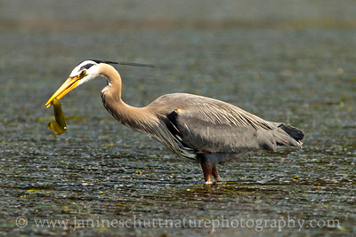Great Blue Heron with an eel.  Photo taken at Fort Flagler State Park near Port Townsend, Washington.