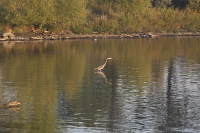 Heron in Mimico Creek