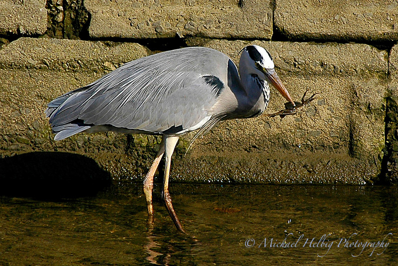 Great Blue Heron - Hiroshima
