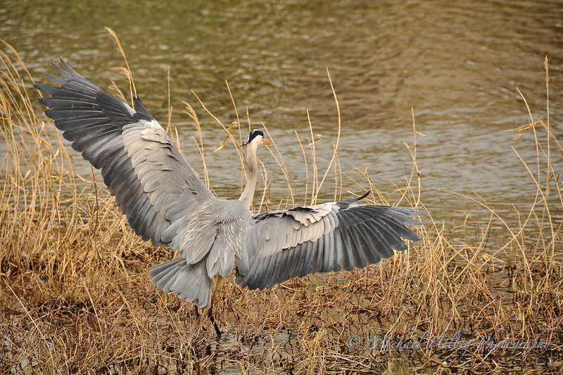 Great Blue Heron - Kyoto