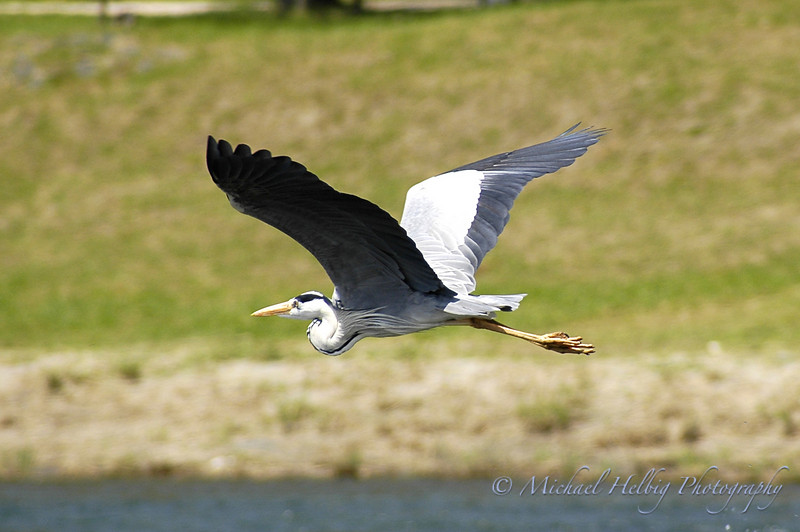 Gray Heron - Yamaguchi