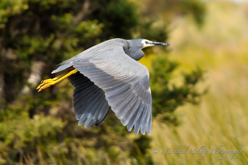 White-Faced Heron in flight - Denmark, Australia