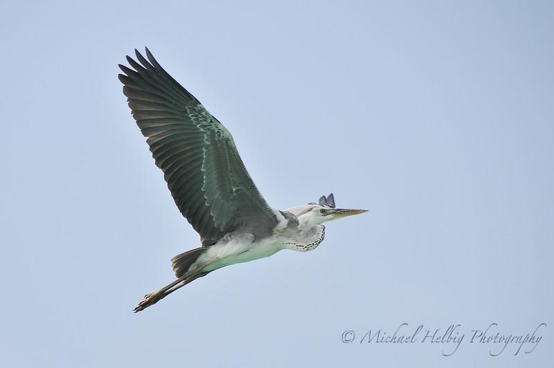 Great Blue Heron in flight - Maldives