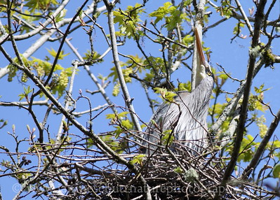 Great Blue Heron in nest.  Photo taken near Seabeck, Washington.