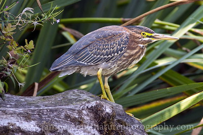 Green Heron photographed while kayaking on Kitsap Lake in Bremerton, Washington.