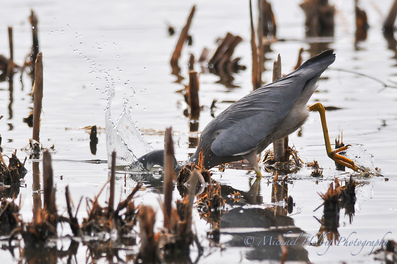 White-Faced Heron - Perth