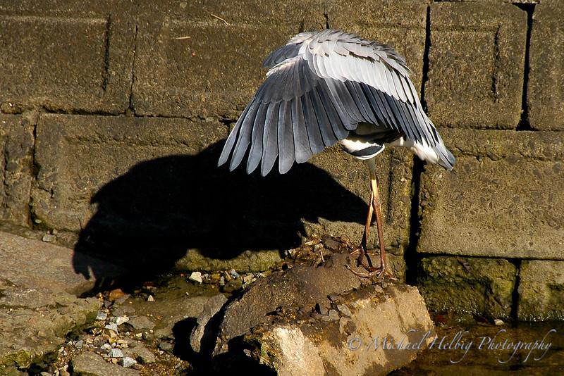 Great Blue Heron - Hiroshima