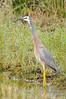 White-Faced Heron - Denmark, Australia