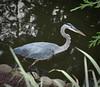 20090815 Great Blue Heron, Duke Gardens, Durham NC (2 of 4)
