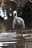White-Faced Heron - Perth