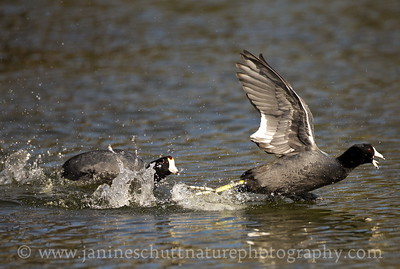 Coot pursuit!  American Coots at Jameson Lake in Douglas County, Washington.