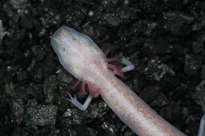 Cave salamander from Camp Bullis, near San Antonio, TX.