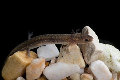 Salamander from Spillar Ranch Spring