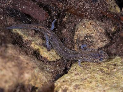 An in situ Valdina Farms salamander