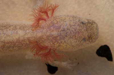 Comal Blind salamander close-up