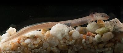 Eurycea naufragia, Water Tank Cave