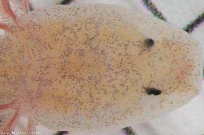 Vestigial eye development weirdness in Eurycea tridentifera