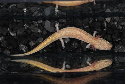 Eurycea c.f. chisholmensis