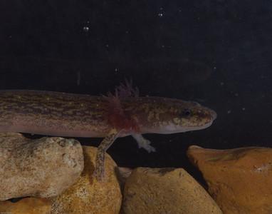 Eurycea troglodytes complex.