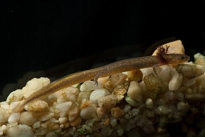 Taylor Spring salamander,  Eurycea c.f. sosorum