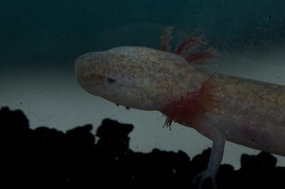 Cave salamander from Camp Bullis